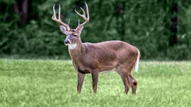 Deadly 'zombie' deer disease threat prompts Louisiana lawmaker to act: It's 'critical' to find a cure
