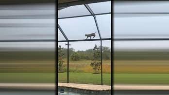 Bobcat stalks squirrel across Florida homeowner's pool roof