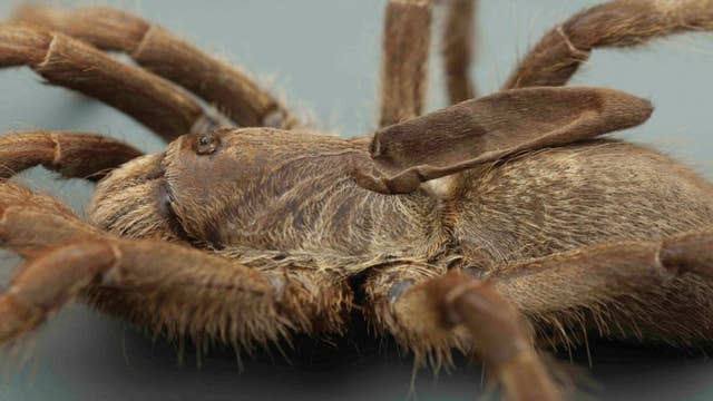 New tarantula with weird horn on its back discovered