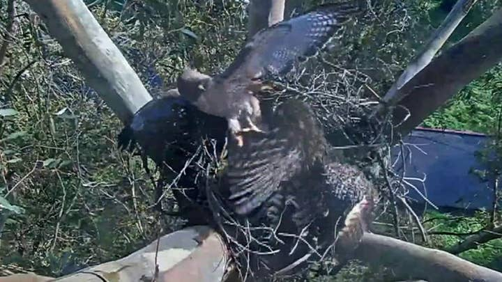 Owl evicts hawk from webcam nest