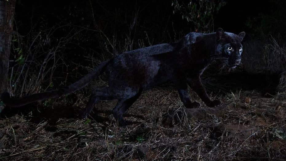 Rare black leopard spotted in Africa