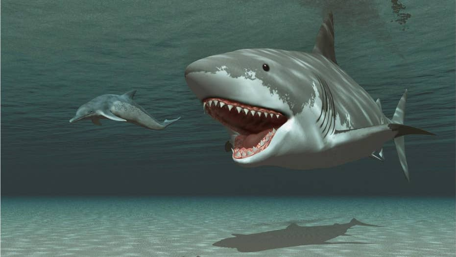 Megalodon Shocker Huge Killer Shark May Have Been Wiped Out By Great Whites Fox News