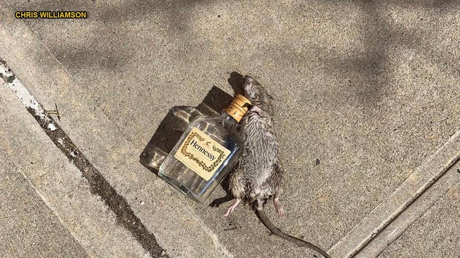 Rat lying next to empty Hennessy bottle goes viral: 'Might