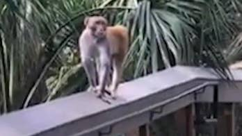 Aggressive monkey chases tourists in Florida's Silver Spring State Park