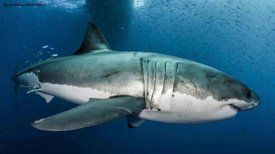 The genome of great white sharks may hold the key to curing cancer