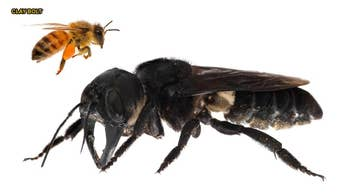 World's largest bee with giant jaws rediscovered in the wild