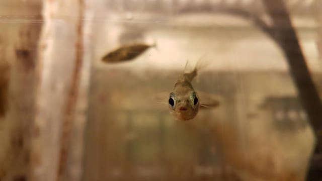 Virgin birth: Fish turned evolution upside down and got pregnant with no help