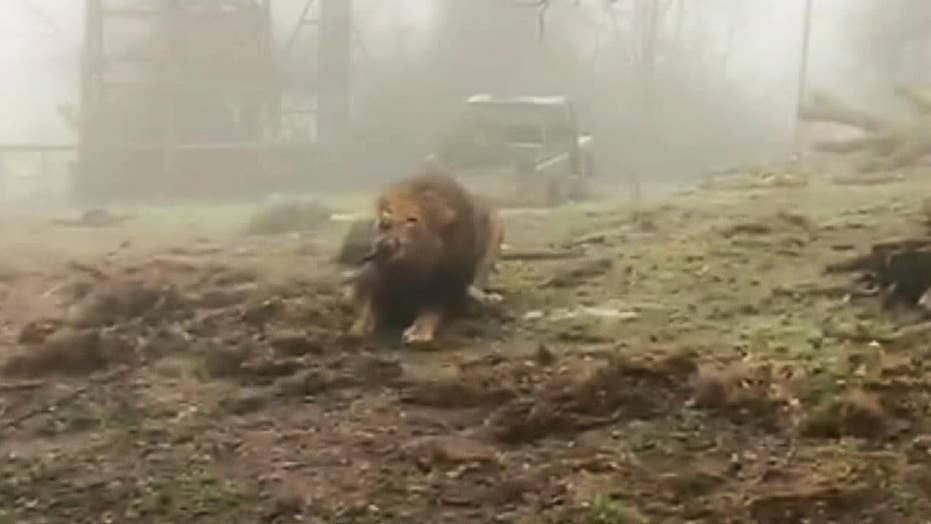Tug-of-war with a lion: UK zoo's bizarre big cat challenge sparks criticism