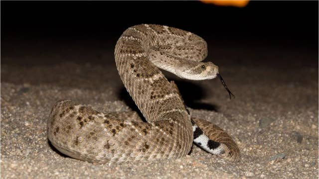 Dead rattlesnake uncoils on grill, surprises Texas hunters: 'Surely he's dead by now!'