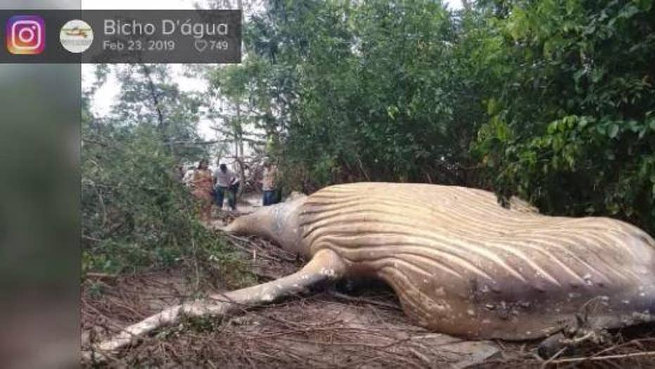 Mystery surrounds humpback whale found dead in Brazil's Amazon jungle