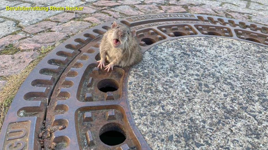 WILD PICS: What happened when this chubby rat got stuck in a grate?