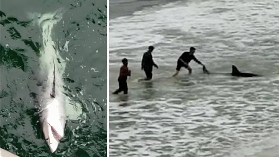 Fisherman reels in great white shark off Florida pier