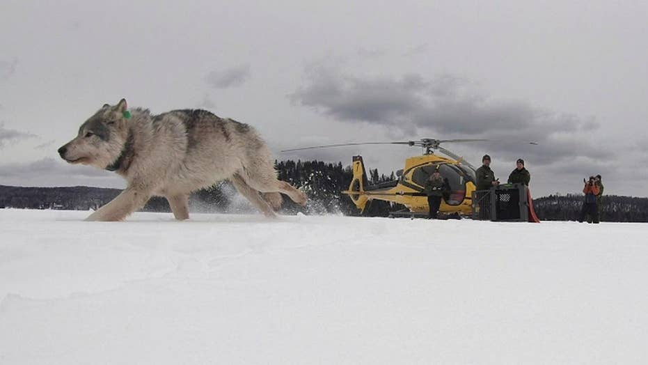 Canadian wolves air-dropped in Michigan national park to deal with moose