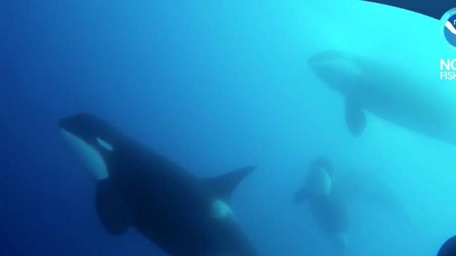 Mystery Killer Whales discovered in Chile