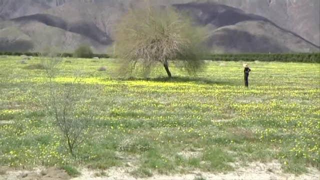 Desert flowers bloom in California