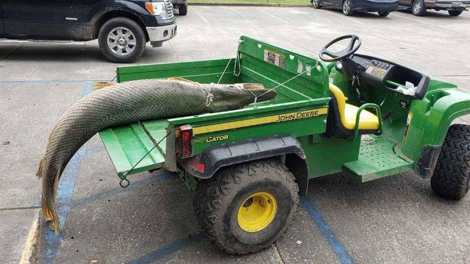 Huge alligator gar pulled from Louisiana lagoon