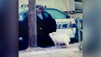 Police use slice of pizza to lure runaway pig in Ohio