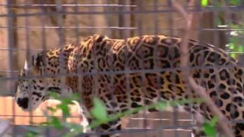 Arizona zoo commits to changing Jaguar exhibit after woman gets clawed taking selfie