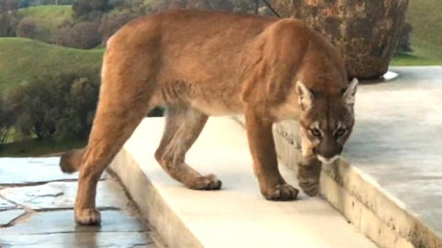 Man records close encounter with large mountain lion prowling around his backyard