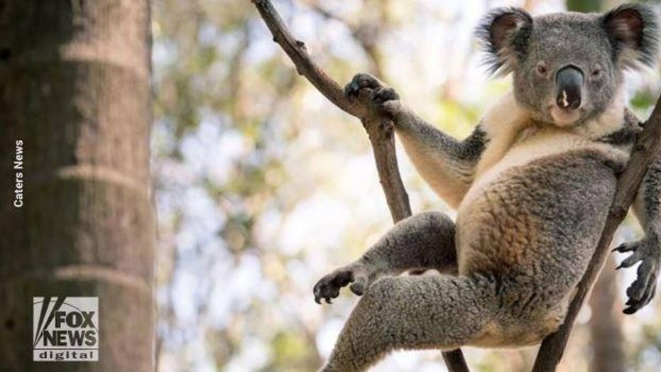 'World's sexiest koala' takes on Hemsworth brothers for best looking Australian