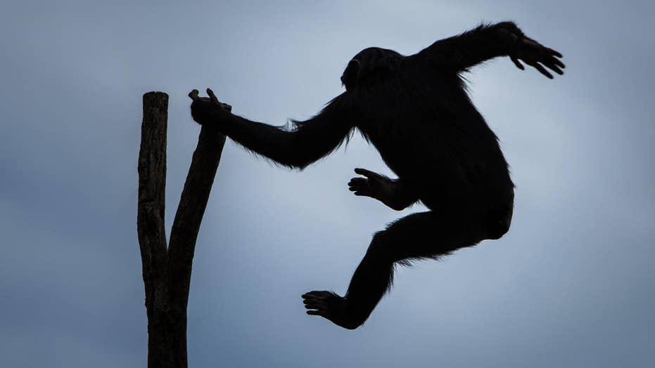 22-million-year-old monkey species found in Africa