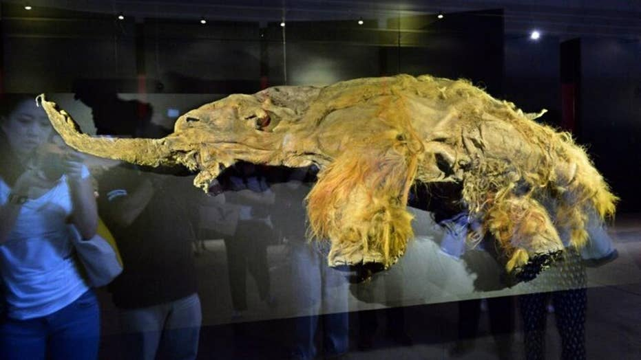 Woolly mammoth cells brought back to life in shocking scientific achievement