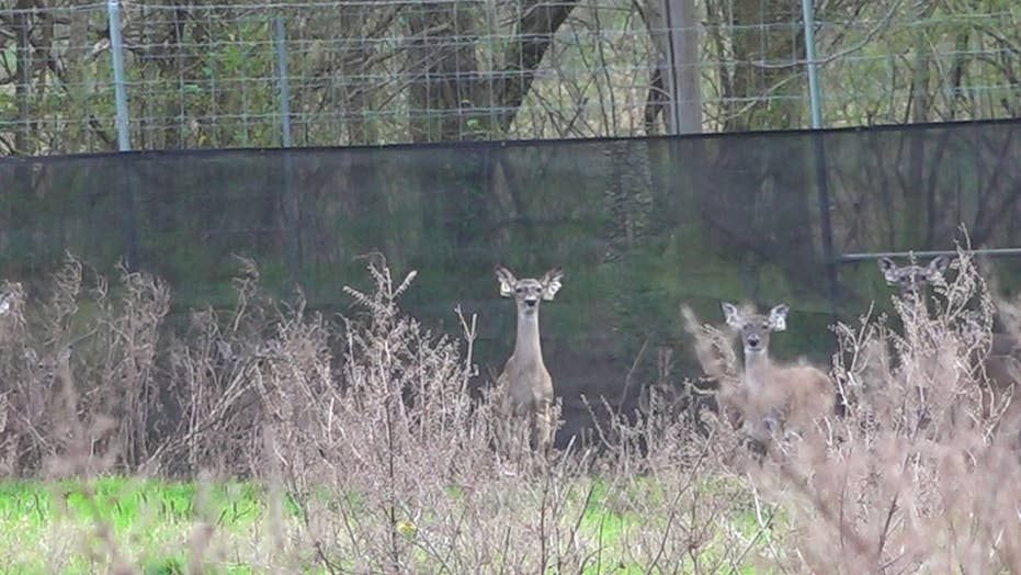 States enforce new regulations to fight 'zombie' deer