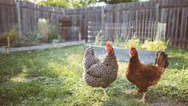 Salmonella outbreak connected to backyard poultry expands to 41 states, sickens hundreds: CDC