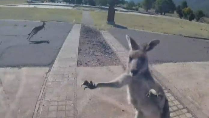 Kangaroo punches paraglider after making perfect landing in Australia, wild video shows
