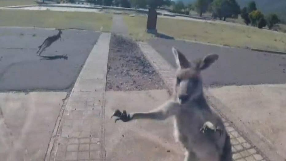 Kangaroo promptly attacks paraglider right after he lands in Australia