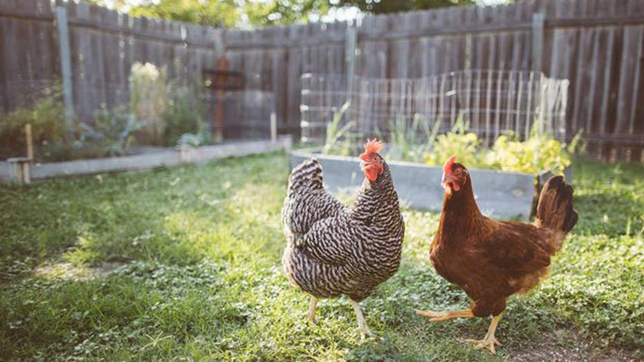 Chickens peck fox to death, because they're dinosaurs