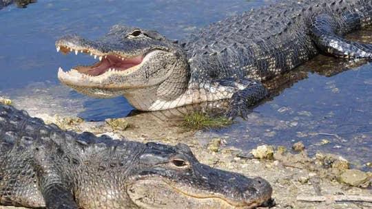 'Monster' alligator interrupts golfers on Georgia green, video shows