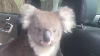 'Feisty' koala sneaks into Australian man's car to 'enjoy the AC,' refuses to leave, wild video shows
