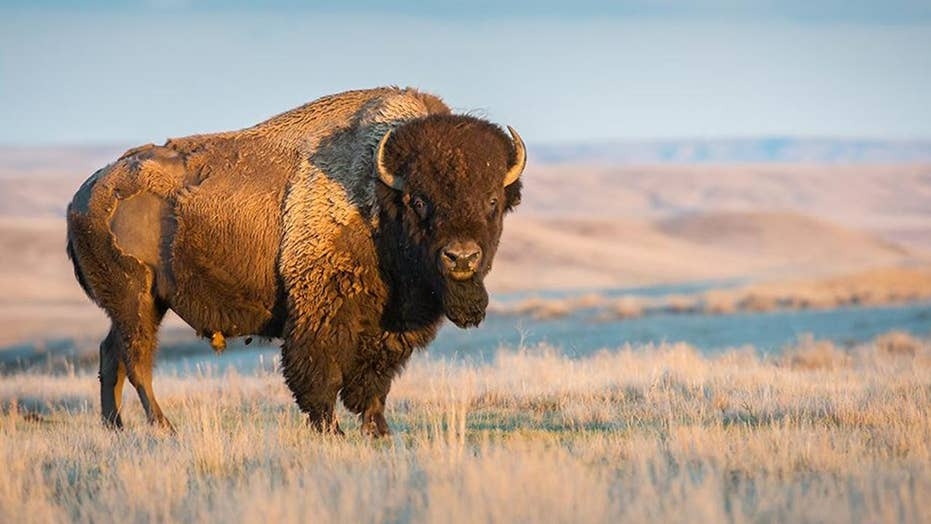 Massive bison does 'happy dance' to welcome spring