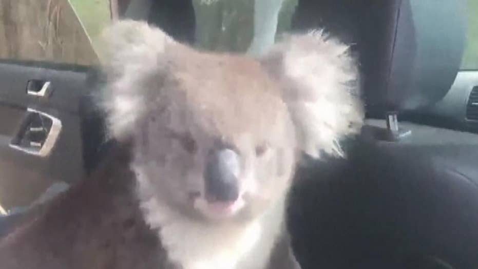 Koala cools off in an air-conditioned car in Adelaide, Australia
