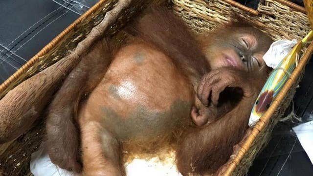 Man arrested at airport for smuggling orangutan in luggage