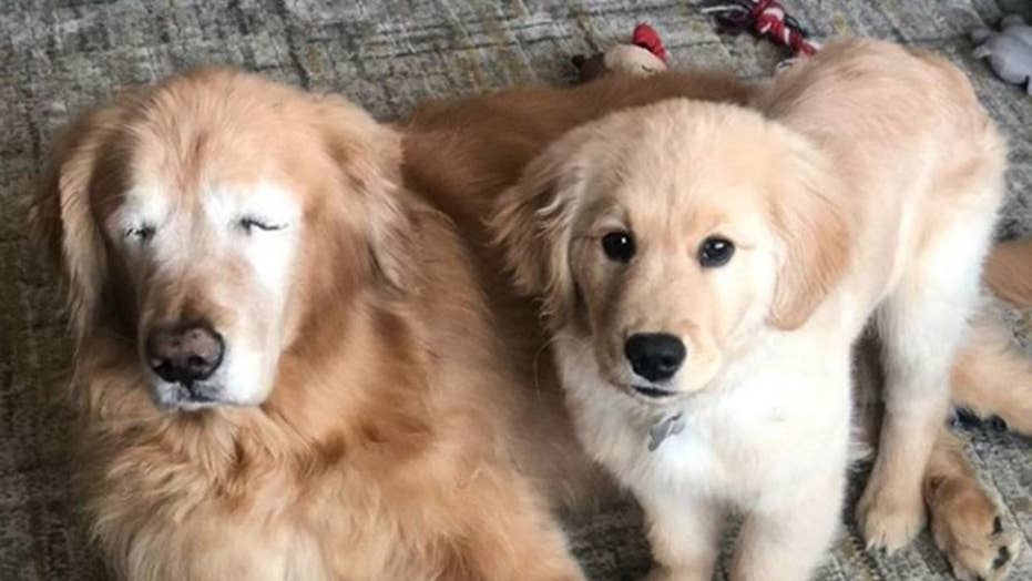 Senior dog gets 'seeing-eye puppy'