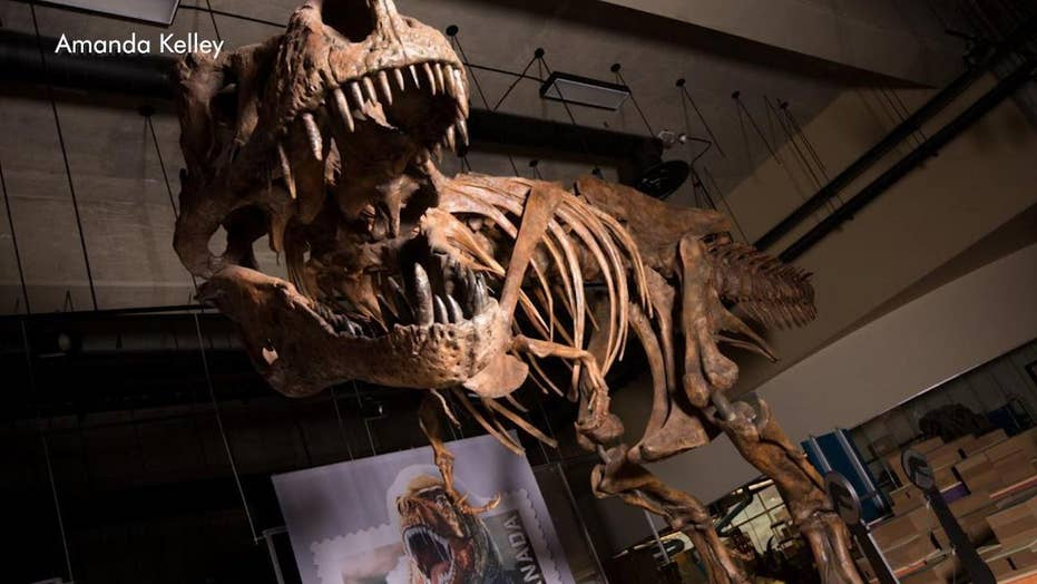 Largest Tyrannosaurus rex skeleton found in Canada