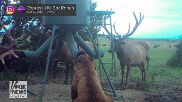 Bizarre photo of a bear surrounded by elk goes viral