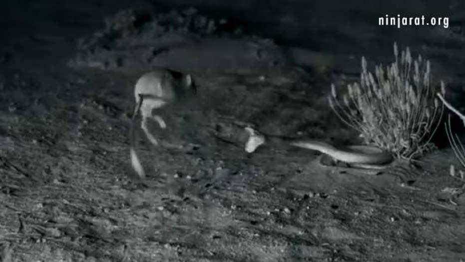 'Ninja' kangaroo rat destroys rattlesnake in epic battle