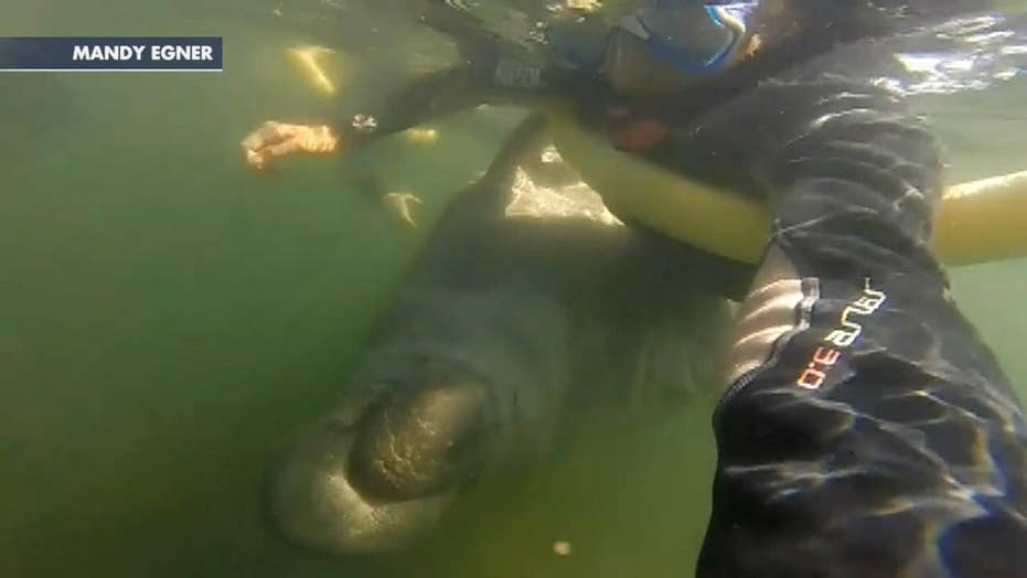 Manatee appears to hug a snorkeler in Florida river