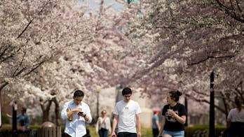 Visitors flock to Washington as iconic cherry blossom trees hit peak bloom