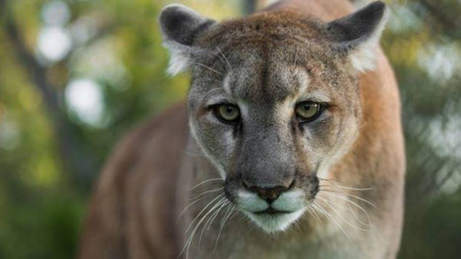 A mother in Canada bravely fights off a mountain lion