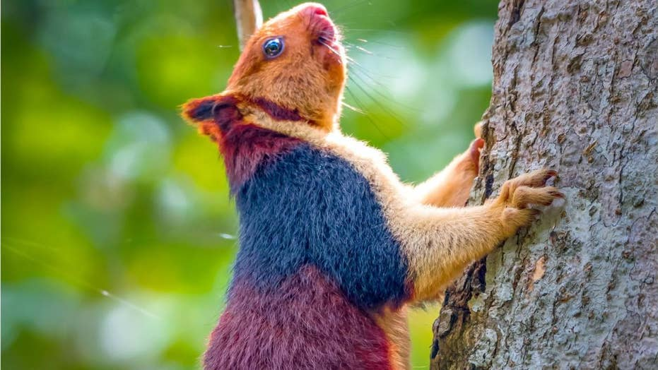 Amazing giant multicolored squirrels caught on camera