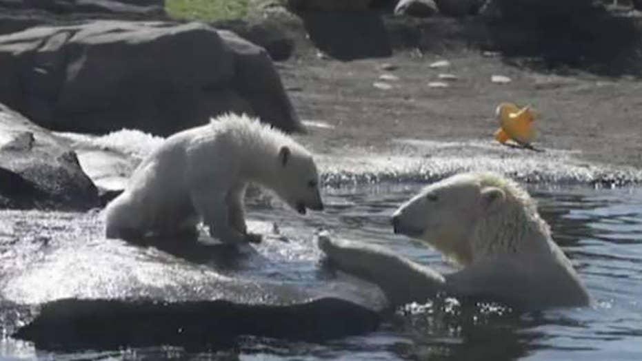 New book suggests number of polar bears has quadrupled despite melting glaciers