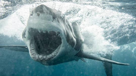 Huge great white shark shocks Florida couple as it emerges from water, bites chum bag, wild video shows