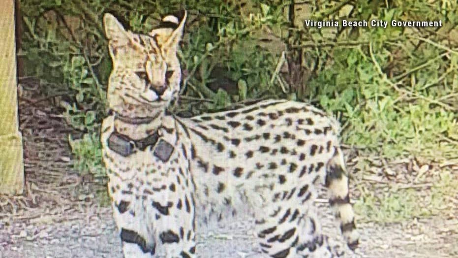 Exotic cat on the loose in Virginia