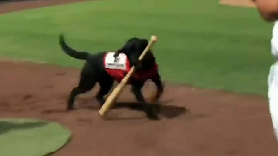Raw video: Umpire booed after not letting team's bat dog do his job