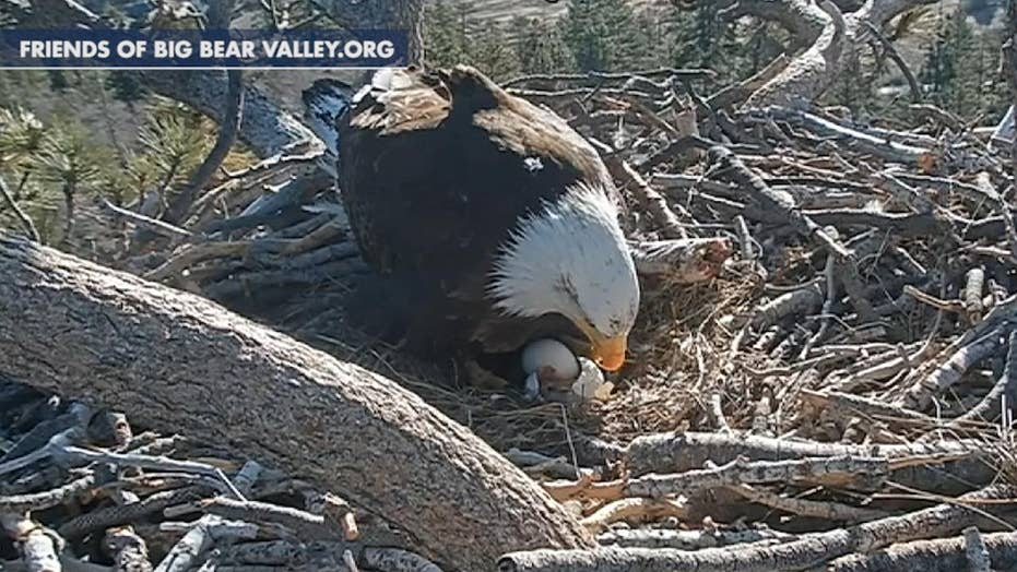 Nest cam captures bald eaglet hatch in California