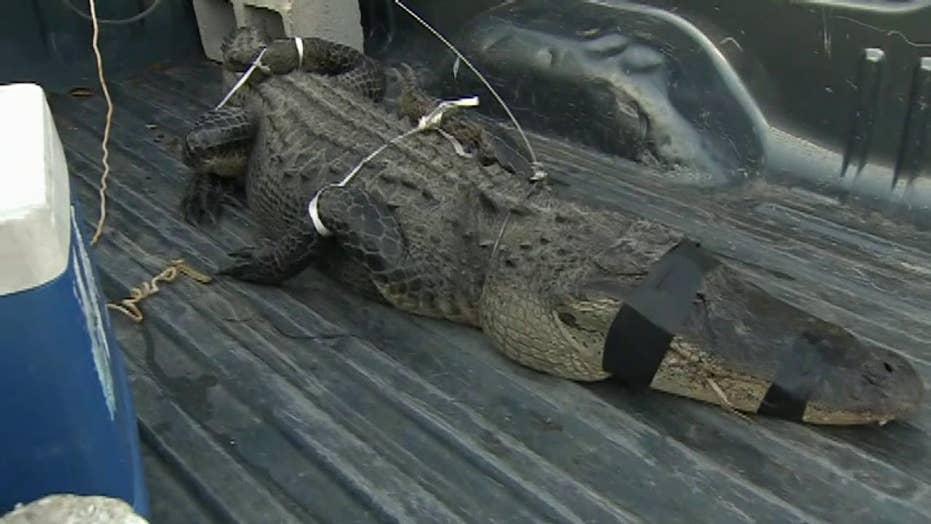 Police trap alligator found in Miami-Dade backyard